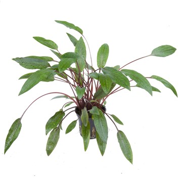 Cryptocoryne Beckettii Petchii (Blister Package)